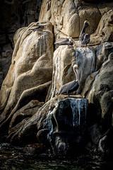 Brown Pelicans - Sea of Cortez, Mexico (KVSE) Tags: seaofcortez baja loscabos cabosanlucas bajacaliforniasur mexico pacific pacificocean pelican brownpelican