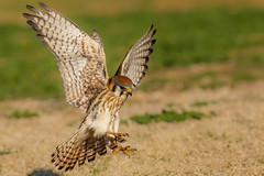 Female Kestrel Flight (gilamonster8) Tags: flare americankestrel beak hawk lakesidepark park fly 400mm flickr animal female tucson feather urban wildlife eosef400mmf56lusm ngc natuesbest bird kestrel flight arizona 7dmarkii raptor eos falcon