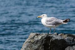 Stubby Gullone (rdubreuil) Tags: animls birds seagull seagulls fauna shore rocks ocean sea coast coastal water injury injured handicap handicapped