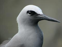 Hawaiian Noddy Head (Anous minutus melanogenys) (ArcticOwl1191) Tags: bird photography hawaii hawaiian noddy anous minutus melanogenys maui grey black white closeup feathers