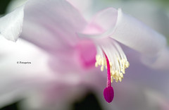 Er blüht noch einmal (petra.foto busy busy busy) Tags: kakteen kaktus weihnachtskaktus blumen flora blüte fotopetra canon macro