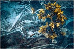 Broken Flowers (mvnfotos) Tags: 52weeks2019 819 broken flowers yellow winter