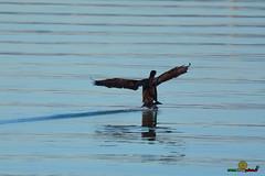A-LUR_3850 (OrNeSsInA) Tags: aly passignano panicale natura panorami campagma campagna landescape trasimeno nikon canon airone airon cormorano spettacolo birdwatching albero cielo animale mare acqua uccello