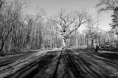 Dicke_Eiche_BW_tx_DSC_1243 (said.bustany) Tags: bruchköbel hessen 2019 februar public bw blackwhite tree baum eiche dicke schatten