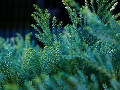 Cozy morning   #pinus #tree #treeleaf #greenplant #pohon #texture #earthelement (laylakautsarrani123) Tags: earthelement treeleaf pohon texture pinus tree greenplant