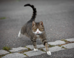 Passing the line (KronaPhoto) Tags: høst natur 2018 katt kjæledyr petlover dyr street border line cross step norway dof