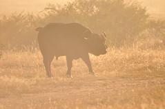 African buffalo in the morning light, Syncerus caffer (viliris) Tags: buffalo morninglight morningmist silhouette wildlife wildanimals savannah kenya africa masaimaranationalreservekenya masaimaranationalparkkenya safari synceruscaffer