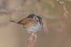 Swamp sparrow (Joe Branco) Tags: tree macro forest grass green photoshop lightroom canada ontario branco birds bird joe wildlife nature wildlifephotographer joebrancophotographer swamp swampsparrow nikon