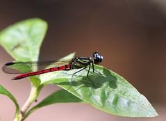 Uganda Red-jewel (douwesvincent) Tags: uganda africa nature world outdoor natural beauty