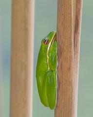 Green Tree Frog (Hyla cinerea) (piazzi1969) Tags: elements greentreefrog hylacinerea fronts haps herpetology amphibians houston texas use wildlife frogs treefrogs nature canon eos 7d ef100400mm sheldonlakestatepark sheldon hyla fauna