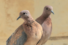 Pair of Laughing doves (Dave 5533) Tags: birds outdoor nature laughingdove dove wild birdsphotography canon300mmf28 canoneos1dx naturephotography animals animalplanet bird birdsinisrael inexplore
