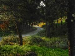 Through the forest (panoskaralis) Tags: forest wood trees pine plants wildplants road roadtrip footpath countryroad country outdoor landscape sunlight green lesvos lesvosisland mytilene greece greek hellas hellenic nikoncoolpixb700 nikon nikonb700 island greekisland greeknature