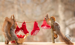 red squirrels are standing with a laundry line and stockings (Geert Weggen) Tags: laundryline redsquirrel laundry line red squirrel stockings animal basket card care celebration close color concepts cute day event funny gift greeting happy cloth clothing nature geert weggen ragunda sweden bispgården jämtland geertweggen hardeko
