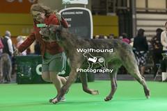 img_9999_251 (HoundPhotographer) Tags: irishwolfhound wolfhound hound crufts crufts2019 showdog dogshow