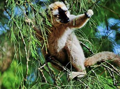 Common Brown Lemur (Susan Roehl) Tags: madagascar2017 islandofmadagascar offtheeastcoastofafrica andasibemantadianationalpark commonbrownlemur eulemarfulvus primate animal mammal endangeredlist lemuridaefamily dietconsistsprimarilyoffruits youngleaves flowers invertebrates cicadas spiders millipedes bark sap soilandredclay varietyofforesttypes lowlandrainforests montanerainforests moistevergreenforests drydeciduousforests groupsof5to12 nodiscernibledominance activeduringday sueroehl photographictours naturalexposures panasonic lumixdmcgh4 100400mmlens handheld slightlycropped tree wood coth5 ngc