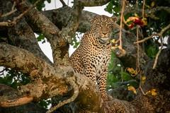 Leopard Sitting on a Branch (helenehoffman) Tags: africa kenya pantheraparduspardus felidae mammal conservationstatusvulnerable cat feline africanleopard leopard bigcat maasaimaranationalreserve animal