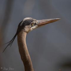 FM5A0399 (Kemp Davis) Tags: greatblueheron canon5dmkiv wildlife nature aquaticbird
