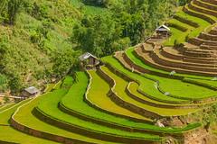 File606.0617.Cầu Ba Nhà.Chế Cu Nha.Mù Cang Chải.Yên Bái (hoanglongphoto) Tags: asia asian vietnam northvietnam northwestvietnam northernvietnam landscape scenery vietnamlandscape vietnamscenery terraces terracedfields terracedfieldsinvietnam sceneryterracedfieldsinvietnam sunny sunlight house homes three flanksmountain canon tâybắc yênbái mùcangchải chếcunha cầubanhà terracedfieldsinmucangchai phongcảnh ruộngbậcthang ruộngbậcthangmùcangchải nắng ngôinhà bangôinhà sườnnúi canoneos1dsmarkiii canonef70200mmf28lisiiusm