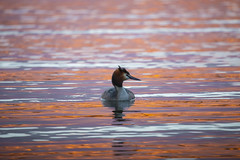 Testa di Svasso (Cristiano Pelagracci) Tags: oasilavalle trasimeno water lake lago nature orange colors color umbria italia canon