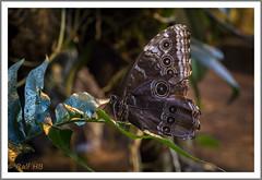 2019.01.14-DSC01893 (Ralf HB) Tags: 2019 botanika bremen insekten schmetterling tiere
