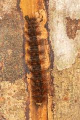 DSC_5155 (Adrian Royle) Tags: malaysia tamannegara travel holiday nature wildlife insect lepidoptera caterpillar larva macro nikon