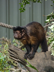 Standing on My Own Four Feet (Steve Taylor (Photography)) Tags: rope animal fence brown green metal wood newzealand nz southisland canterbury christchurch plant bush leaves trunk capuchin monkey blackcappedcapuchin primate willowbankwildlifereserve
