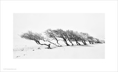 Trees in the Snow (Ian Bramham) Tags: nannerch wales trees snow