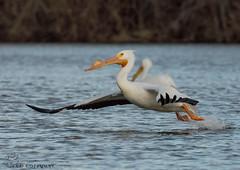 American White Pelican. (Estrada77) Tags: americanwhitepelicans pelicans bigbirds white inflight wildlife outdoors nikon nikond500200500mm nature mar2019 winter2019 water foxriver kanecounty illinois birds birding