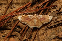 Geometrid Moth (Palpoctenidia phoenicosoma, Larentiinae, Geometridae) (John Horstman (itchydogimages, SINOBUG)) Tags: insect macro china yunnan itchydogimages sinobug entomology moth lepidoptera brown geometridae fbipm larentiinae tumblr