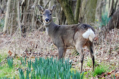 Roe Deer (eric robb niven) Tags: ericrobbniven roe deer springwatch scotland dundee cycling