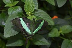 Très belle rencontre au Jardin Botanique (Joanne__) Tags: papillon papillons butterfly nikon d7200 jardin botanique
