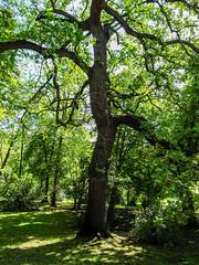 Roble arbol mas de 200 años jardin del parque Campo del Moro Madrid 01 (Rafael Gomez - http://micamara.es) Tags: campodelmoro esp españa madrid roble arbol mas de 200 años jardin del parque campo moro