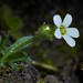 Saxifraga androsacea (Scree Saxifrage)