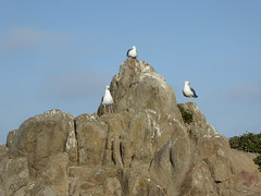 Three Seagulls (Aldene.Gordon) Tags: montereybayarea pacificgrove loverspoint california