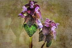 Imposter (Candy McDonald) Tags: flowers weeds purple botanical fineartphotography texturedphotography digitalart texturedmanipulation textures painterly nikon nikonphotography macro god'screation photoshop nikcollection topazstudio