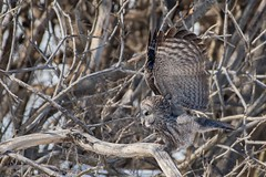 Chouette Lapone / Great Gray Owl (ALLAN .JR) Tags: lapone chouette greatgrayowl nature wildlife ilestbernard nikon bois tree oiseau bird