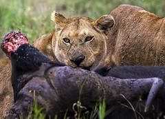 LION 8 (Nigel Bewley) Tags: tanzania africa wildlife nature wildlifephotography nigelbewley photologo appicoftheweek safari gamedrive lion pantheraleo simba maswagamereserve march march2019 bigcat kill hunt africanbuffalo capebuffalo synceruscaffer
