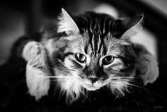 Be cool! (LACPIXEL) Tags: cool be chat cat gato pet animal portrait retrato noiretblanc blancoynegro blackwhite sony flickr lacpixel