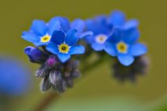 Forget-me-not (pstenzel71) Tags: blumen natur pflanzen forgetmenot vergissmeinnicht myosotis darktable flower spring frühling bokeh