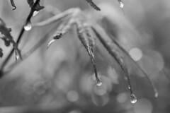 It's Raining Again (sdupimages) Tags: leaf leaves feuilles goutte drip drop pluie rain bokeh nature mbt hmbt feuille noirblanc blackwhite noiretblanc nb bw monochrome maple érable tree