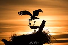 DelPréstamo - 2019   -   1-3 (Del_Préstamo) Tags: naturaleza cigüeñas aves reservanatural