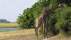Botswana Giraffe eating (h0n3yb33z) Tags: botswana animals wildlife giraffe chobenationalpark africa