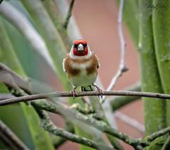 Goldfinch (vickyouten) Tags: goldfinch finch wildlife nature britishwildlife wildlifephotography nikon nikond7200 nikonphotography nikkor55300mm myparentsgarden warrington uk vickyouten