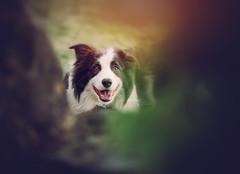 Peek-a-Boo (Samantha Nicol Art Photography) Tags: dog puppy peek boo portrait pet samantha nicol booked blur