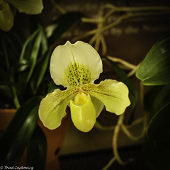 Green orchid (Thad Zajdowicz) Tags: zajdowicz sanmarino california usa travel canon eos 5dmarkiii 5d3 dslr digital availablelight lightroom primelens 50mm nature flower flora orchid color green yellow colour blossom square 1x1 indoor inside huntingtongardens light shadow vignette fineart