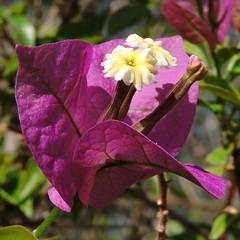 2017-06-20 Bougainvillea sp. - BG Teplice (beranekp) Tags: czech teplice teplitz botanik botany botanic herbarium herbary herbář garden garten flora flower plant bougainvillea