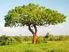 Scratching tree for elephants (igor29768) Tags: africa kenya acacia tree red soil elephant scratching tsavo panasonic lumix gx7 818mm trunk leica mud bark