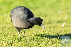 Eurasian Coot (David de Groot) Tags: birds eurasiancoot fulicaatra uqlakes universityofqueensland nature wildlife stlucia queensland australia au