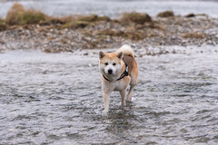 Kyo (Nicomonaco73) Tags: akita inu japon japanese dog dogs chana savoie lac du bourget water beautiful love nikon d750