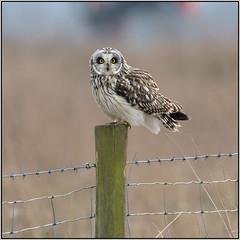 Short-eared Owl (image 2 of 2) (Full Moon Images) Tags: wildlife nature reserve cambridgeshire wicken fen burwell nt national trust bird birdofprey shorteared owl